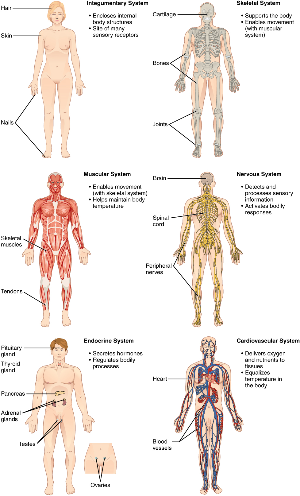 Image result for aging in different organs