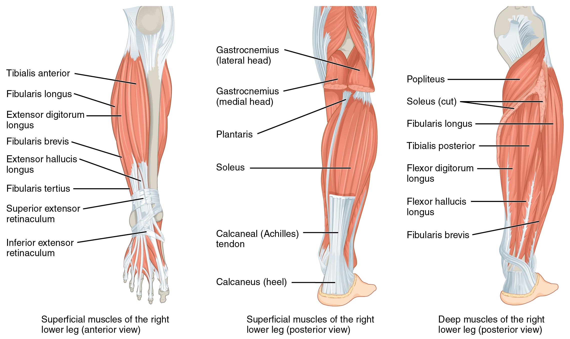 Unterschenkelmuskulatur Med Kom