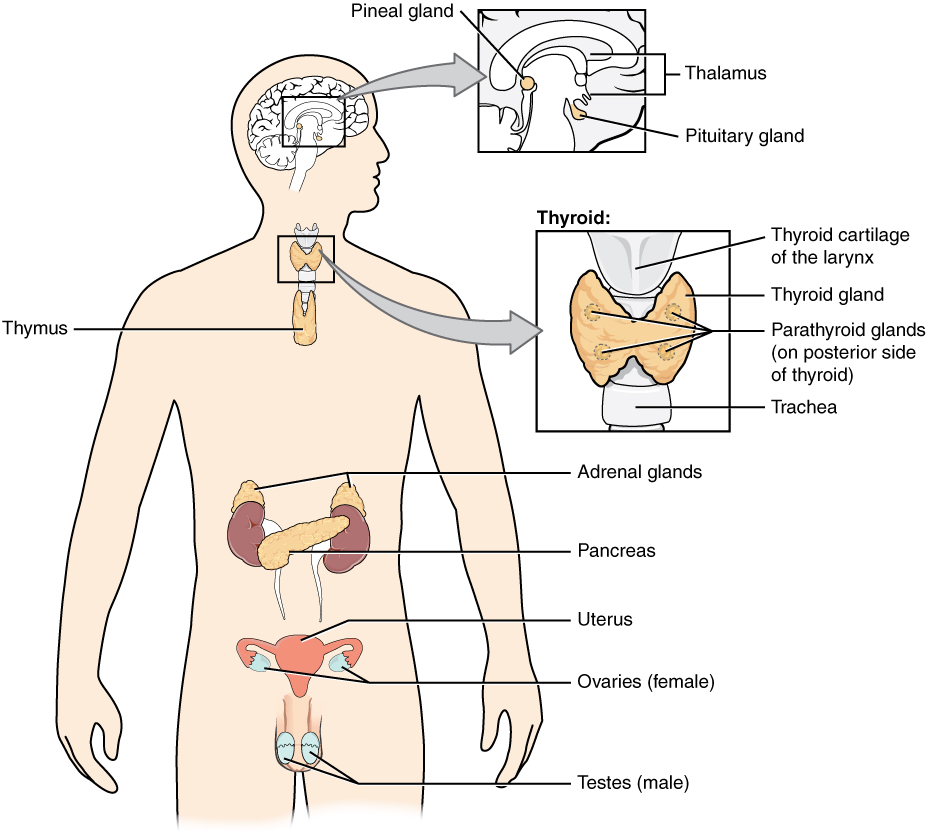 Figure 1: Endocrine glands and cells are located throughout the body and play an important role in homeostasis.