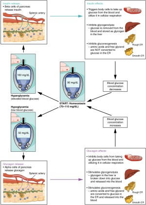 The Endocrine Pancreas · Anatomy and Physiology