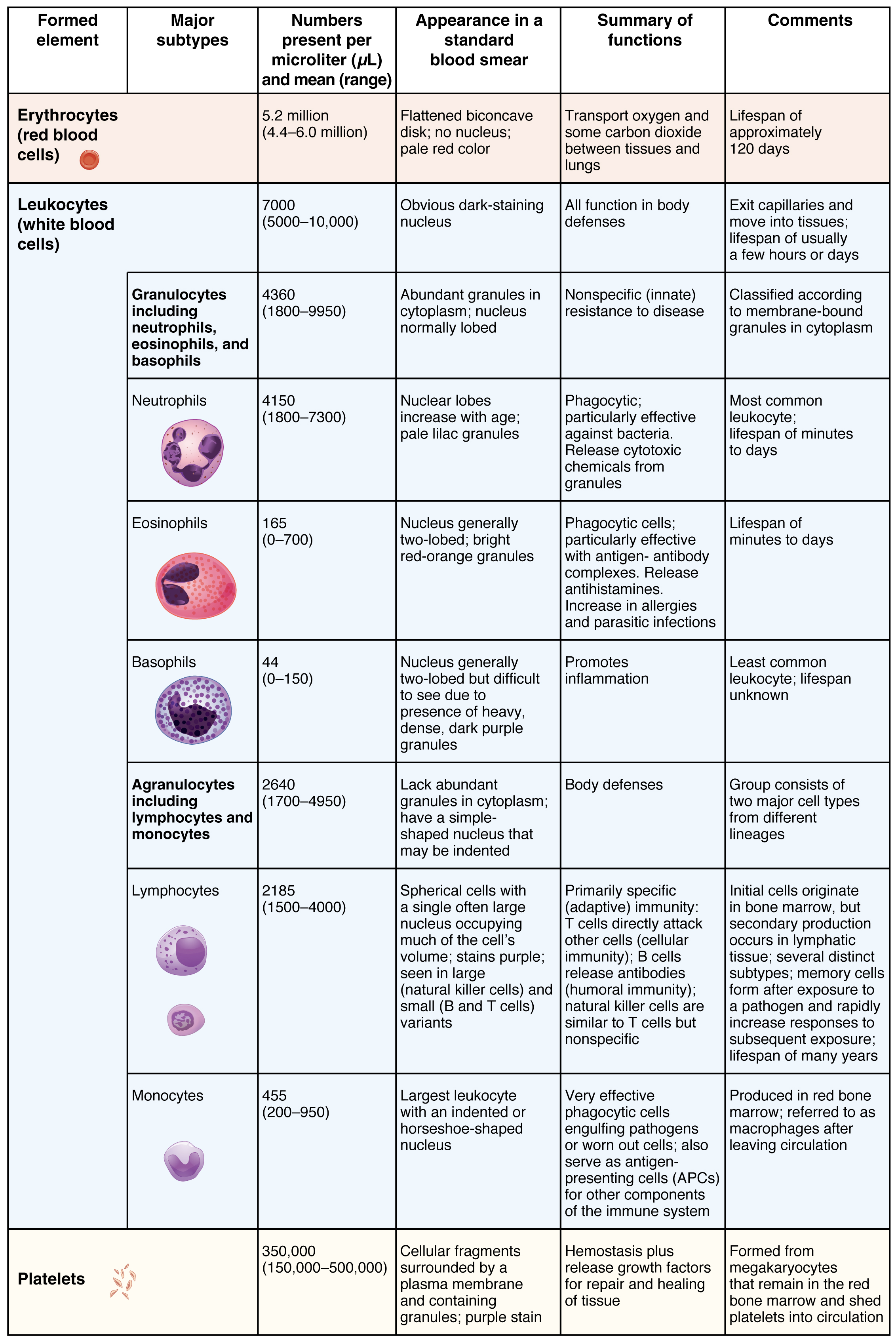 Erythrocytes Anatomy And Physiology