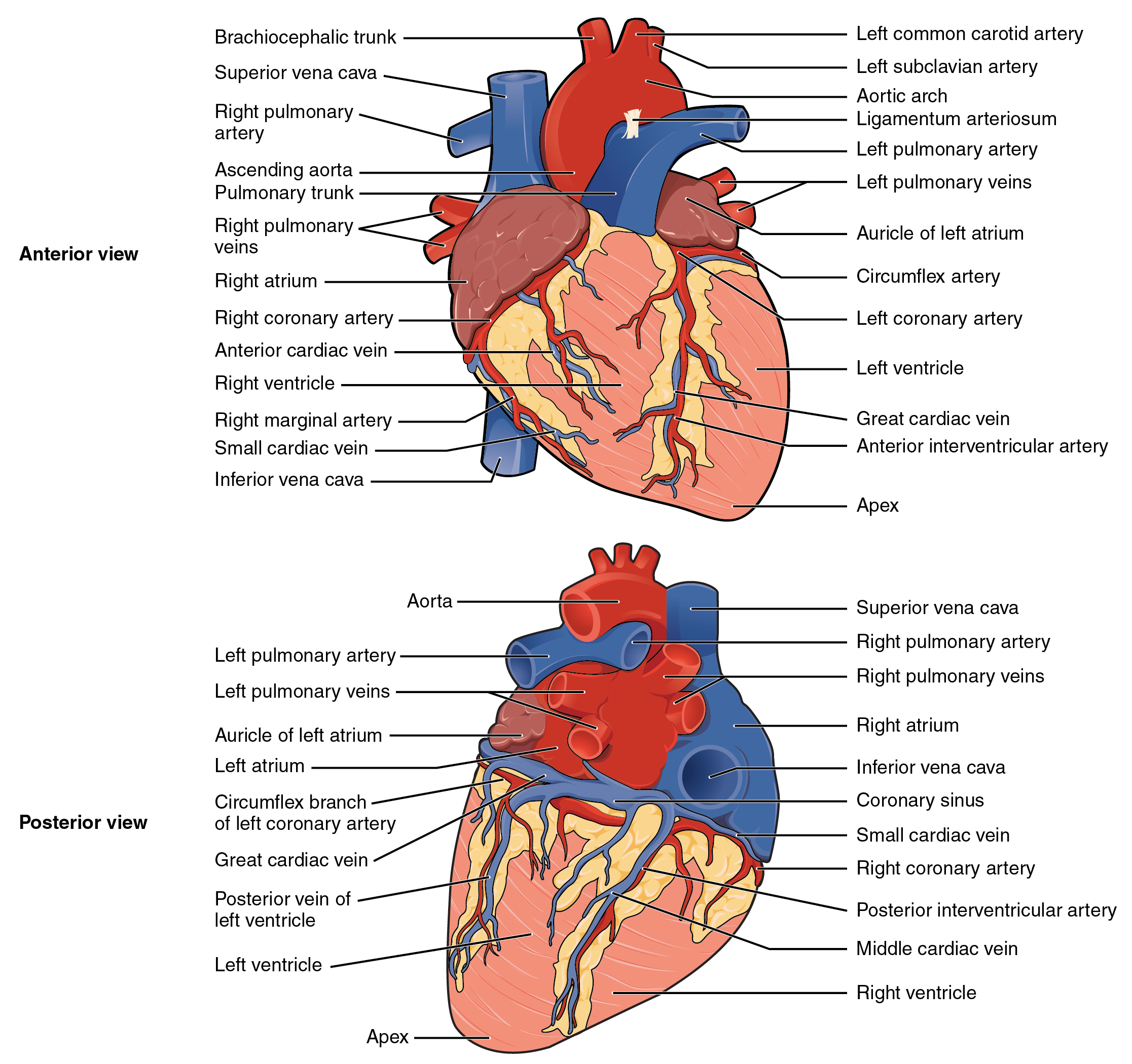 Heart Anatomy Anatomy And Physiology