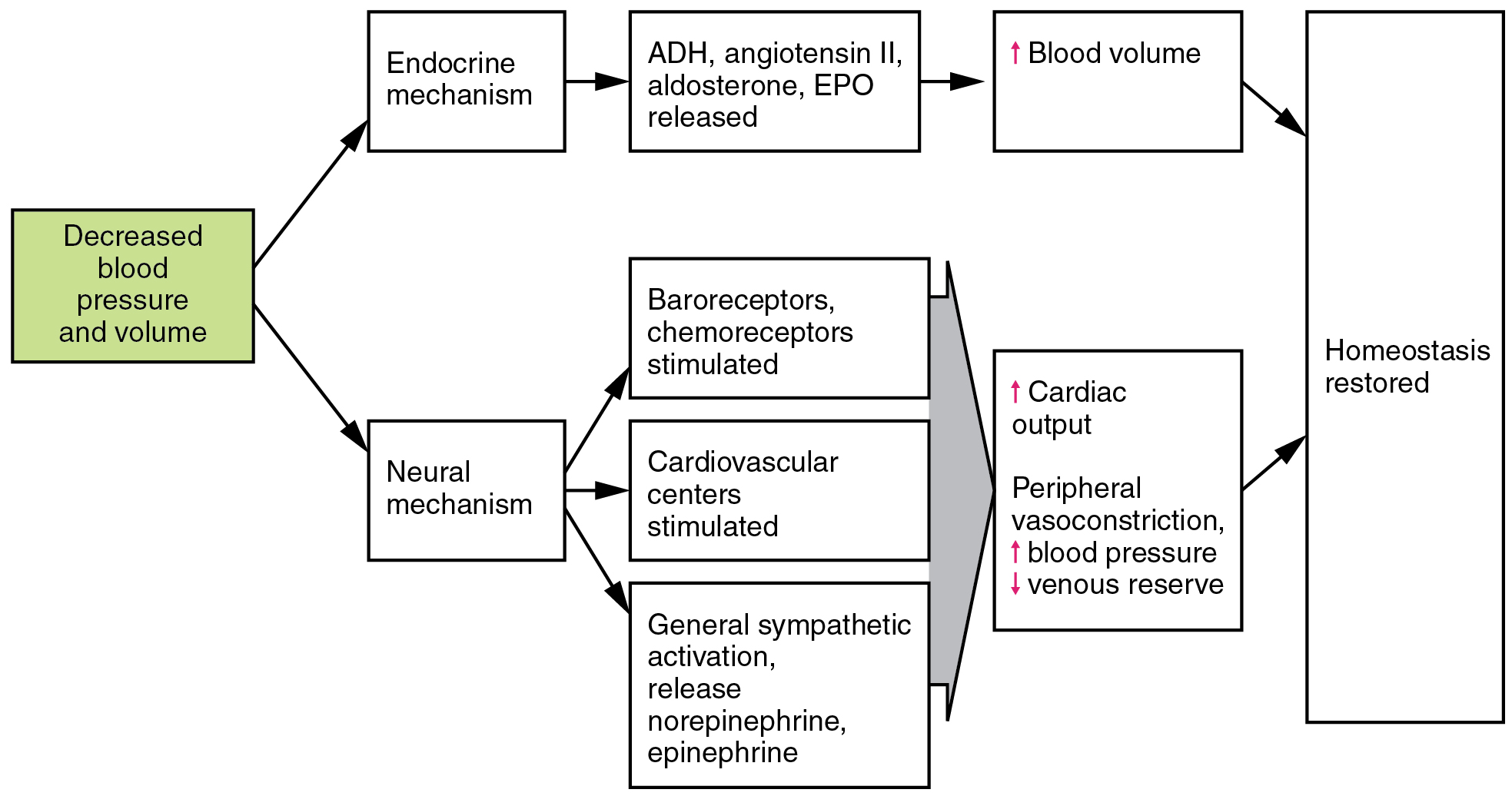 Homeostatic Regulation Of The Vascular System Anatomy And Physiology