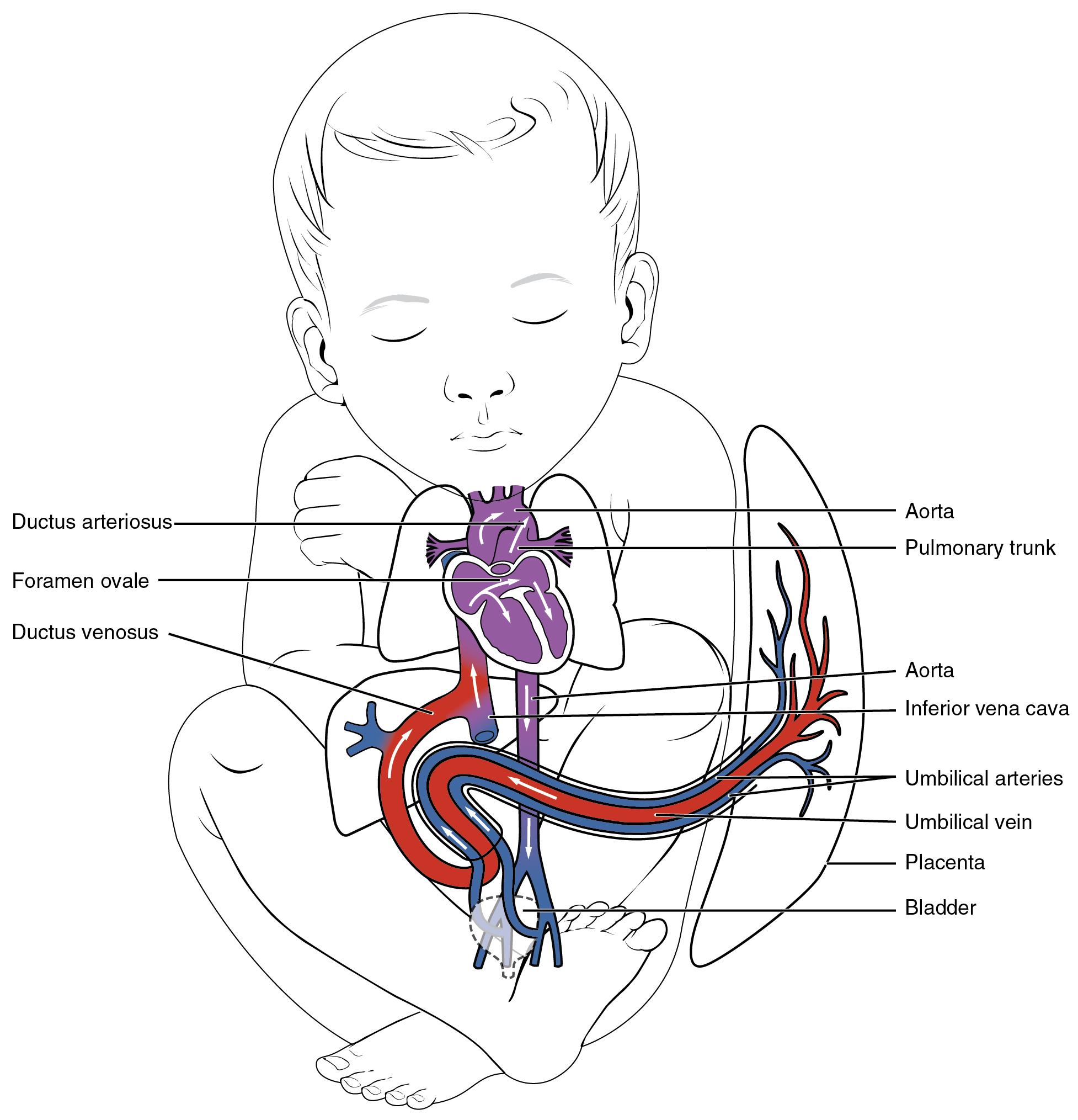 Development Of Blood Vessels And Fetal Circulation