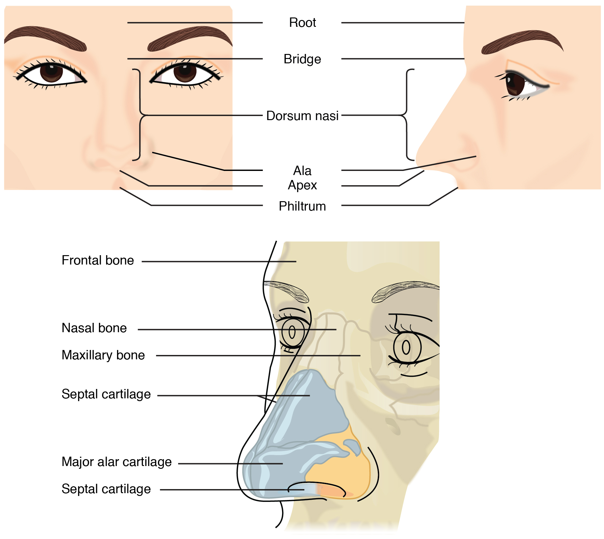 Nose Anatomy And Histology Of The Human Nose