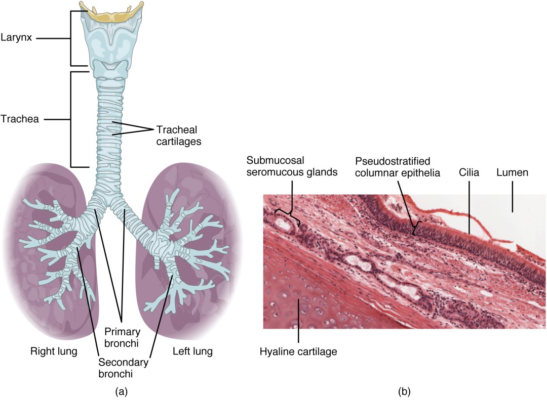 The top panel of this figure shows the trachea and its organs. The major parts including the larynx, trachea, bronchi, and lungs are labeled.