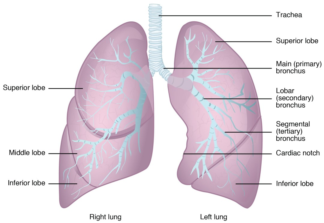 This figure shows the structure of the lungs with the major parts labeled.