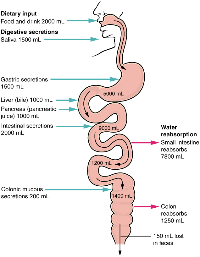 Chemical Digestion and Absorption: A Closer Look · Anatomy ...