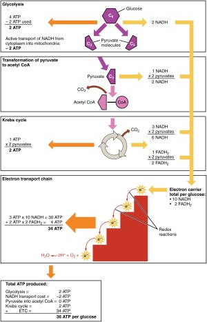 Carbohydrate Metabolism · Anatomy and Physiology