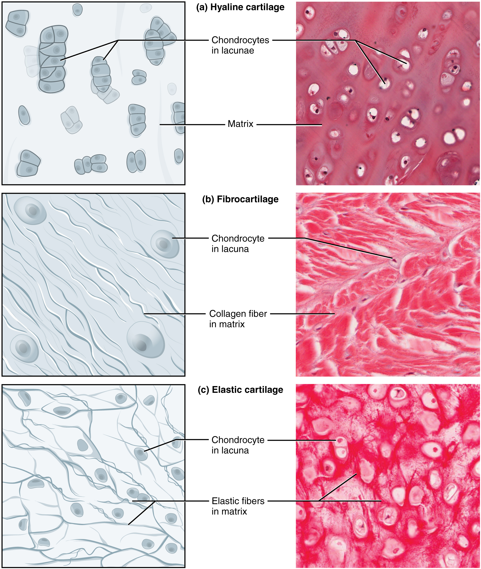 Connective Tissue Supports And Protects Anatomy And