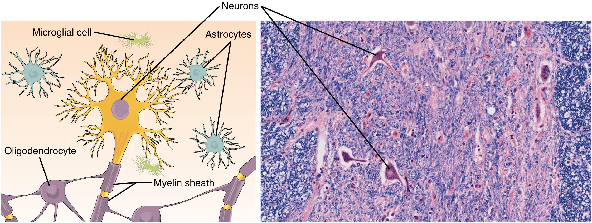 Nervous Tissue Mediates Perception And Response Anatomy