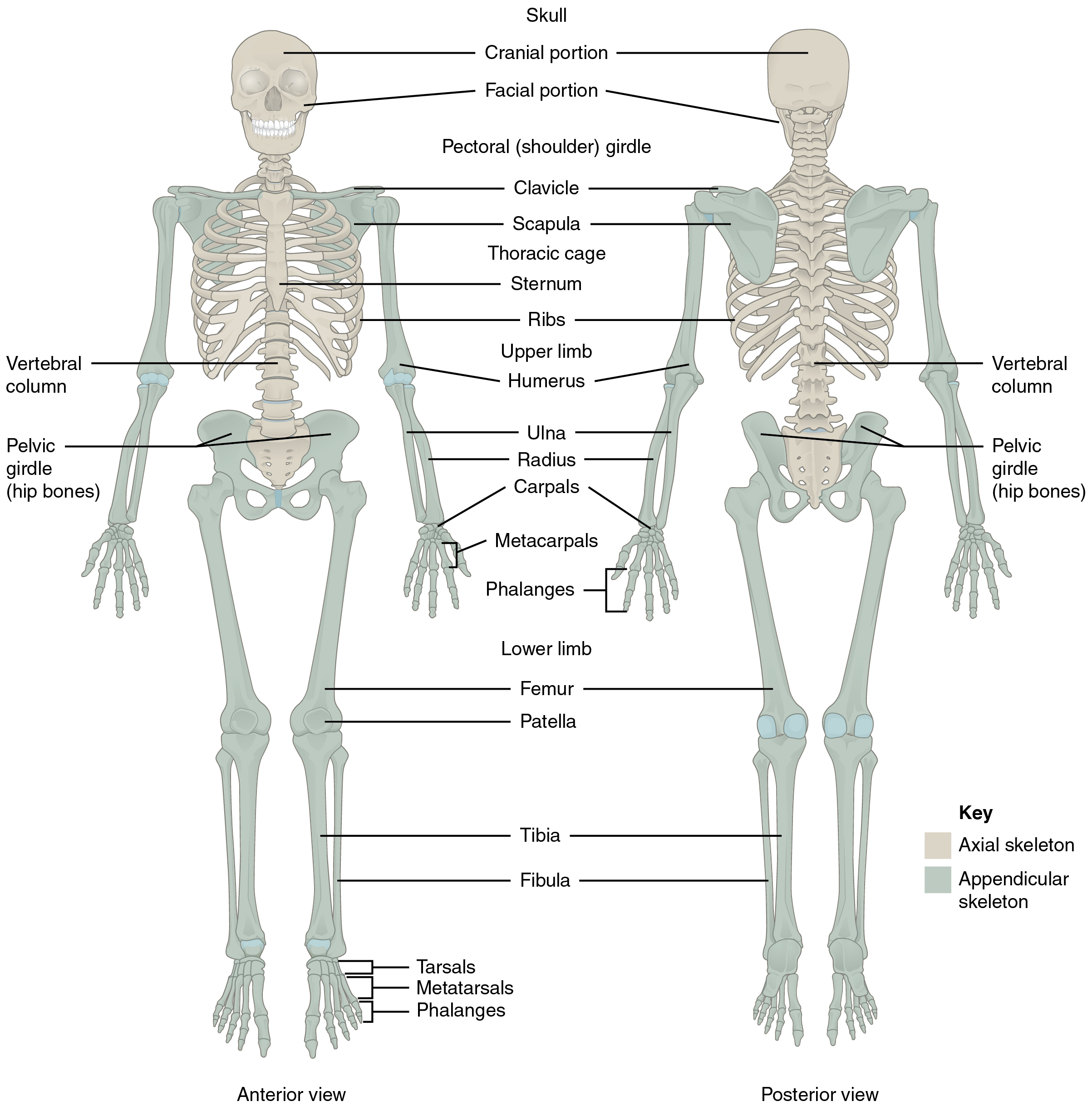 Divisions Of The Skeletal System Anatomy And Physiology