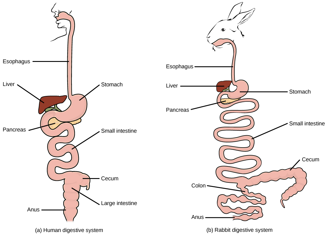 Image result for image of a large intestine in a herbivore