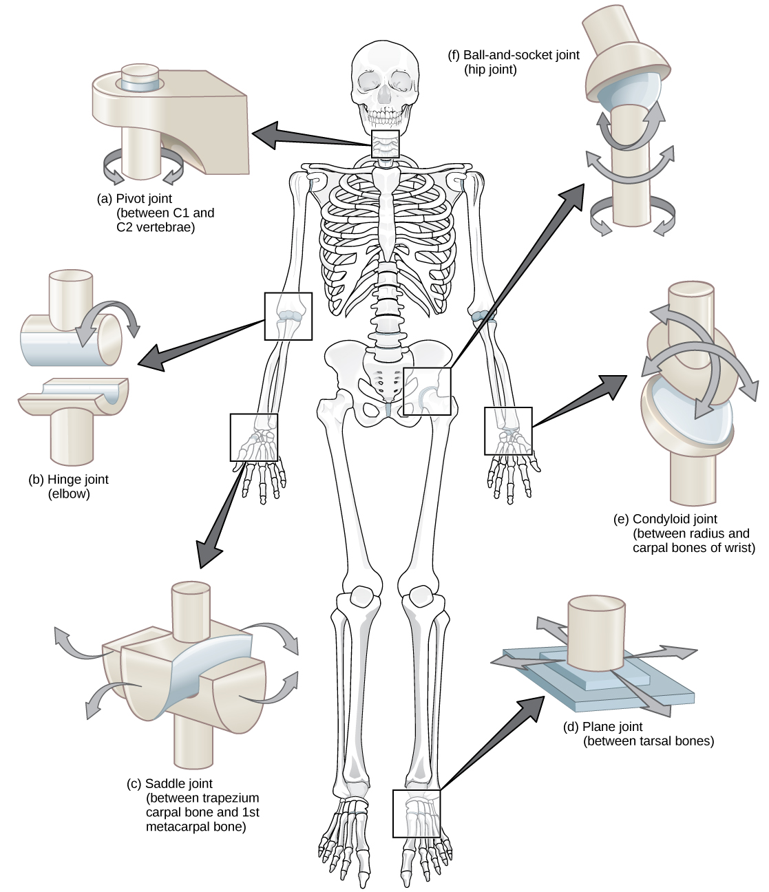 Joints And Skeletal Movement Biology