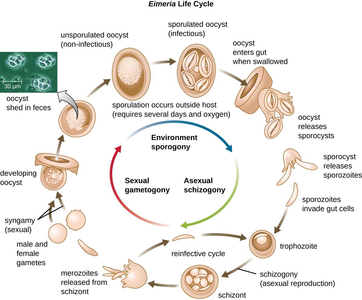 Unicellular Eukaryotic Parasites Microbiology