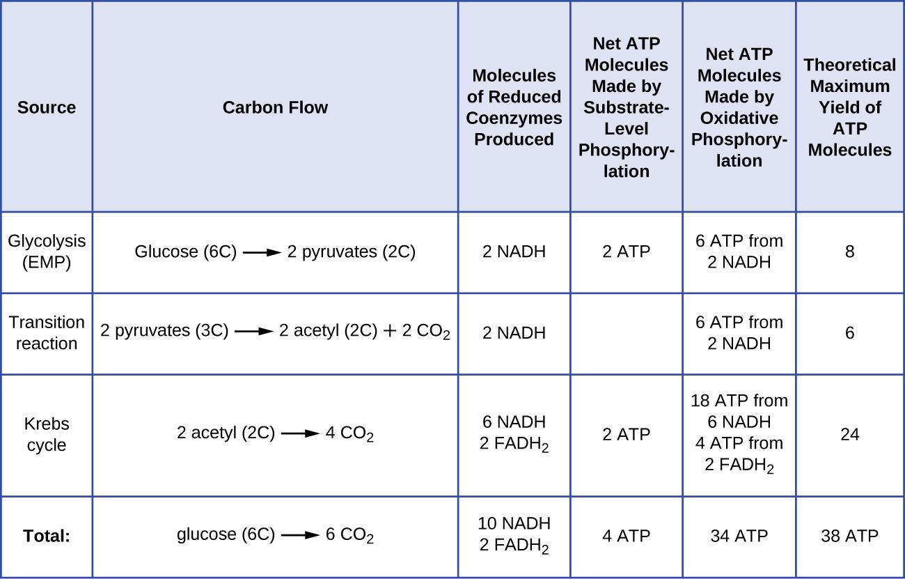 Cellular Respiration Microbiology