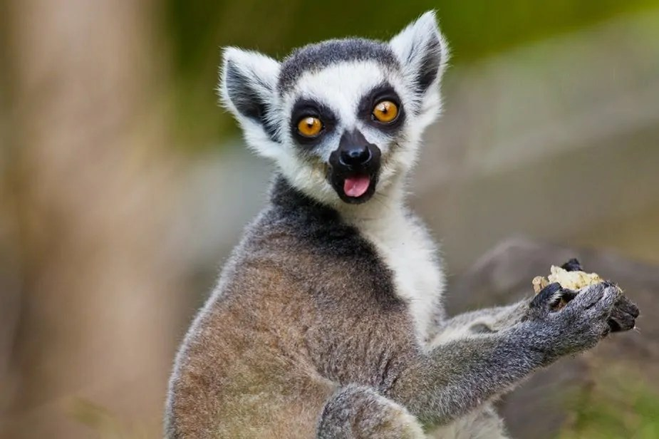 Lemurs Prove There Is No Single Formula For Lasting Love - Phil Sports News