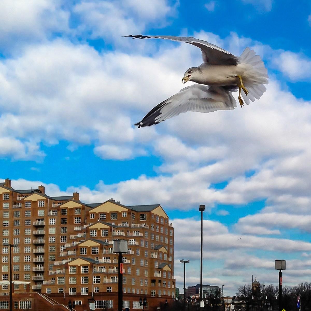 Baltimore Seagull
