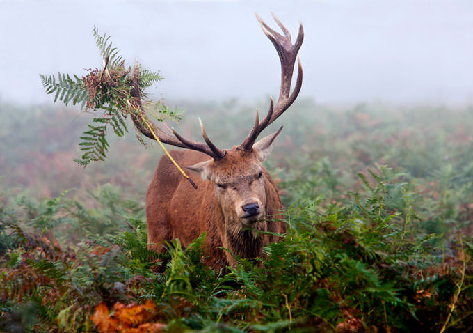 Red Deer by bespokefra...