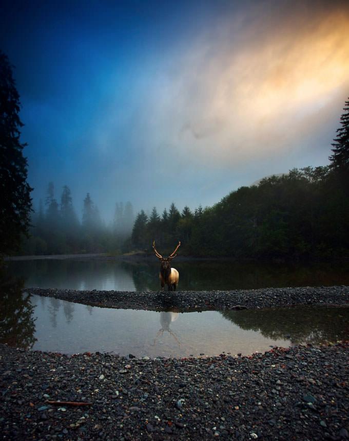 Roosevelt Elk by Snorri Gunnarsson
