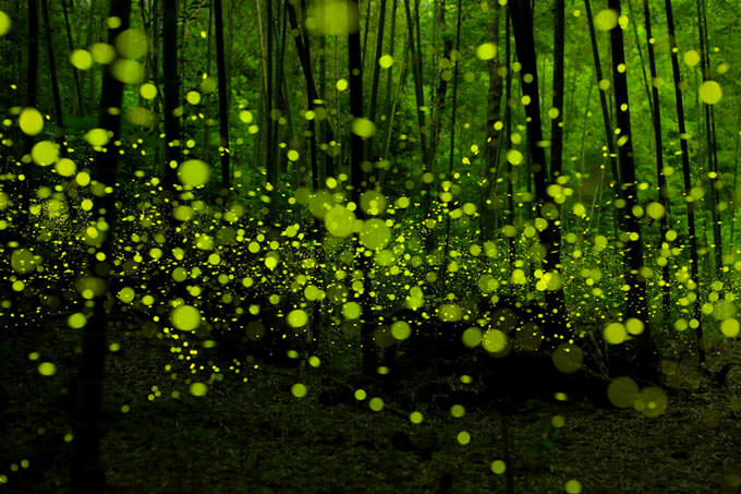 Last Dance of the Fairies by yume . (Long exposure of fireflies in the forest)