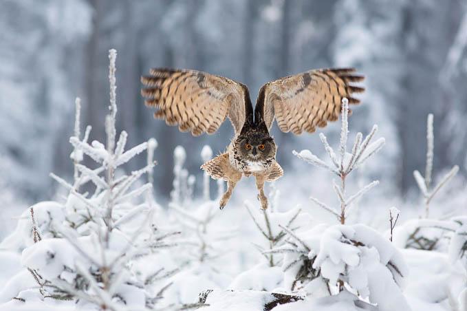 Eagle Owl by Milan Zygmunt