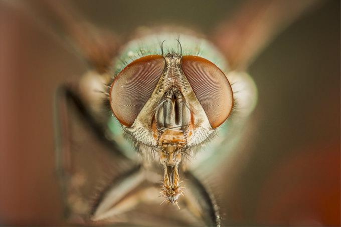 An Insects Portrait Green Bottlefly by Dan Dexter