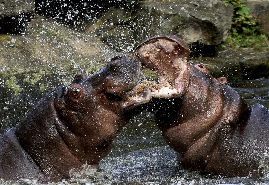 Hell-Raising Hippos by Ger Bosma