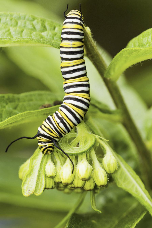 Monarch - Danaus plexippus by mattbpics