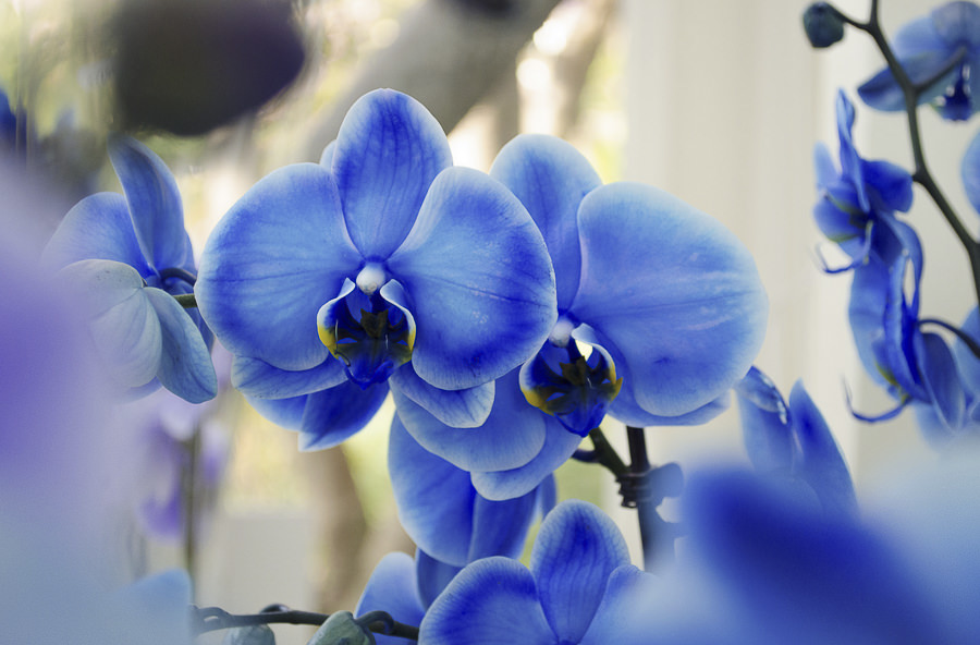 Blue Orchids by Romain Vernoux