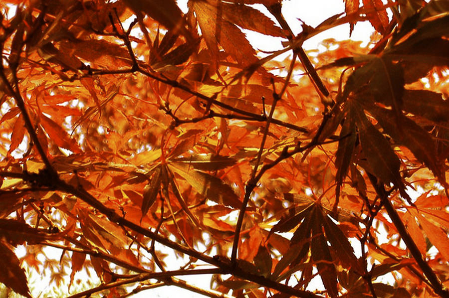 Japanese Maple by Bing