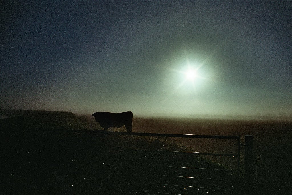 cow in sunshine - phlogger film