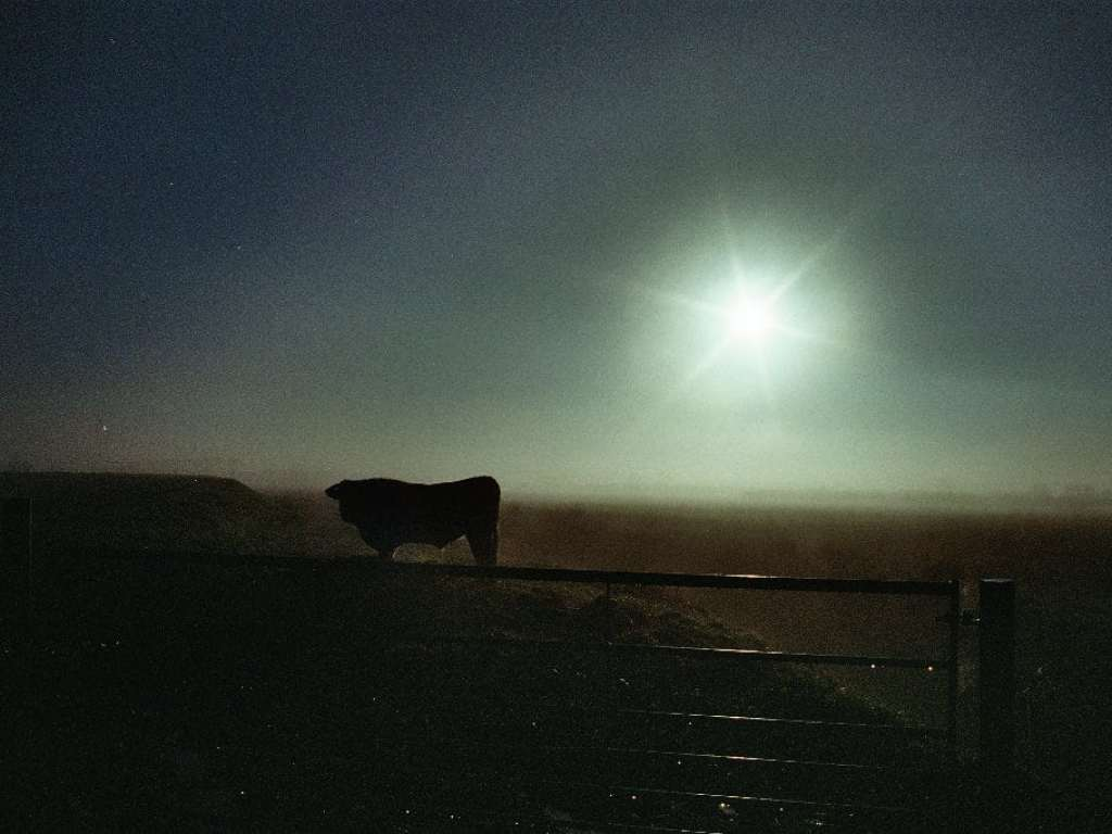 picture of cow in field, with sun lowering