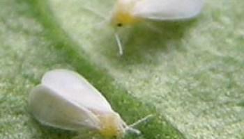 Im Gewachshaus Krabbeln Spinnmilben Auf Gurken Phlora De