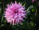 Schmuck-Dahlie American Dream | Foto: phlora.de