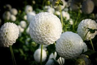 Ball-Dahlie L'Ancress | Foto: phlora.de