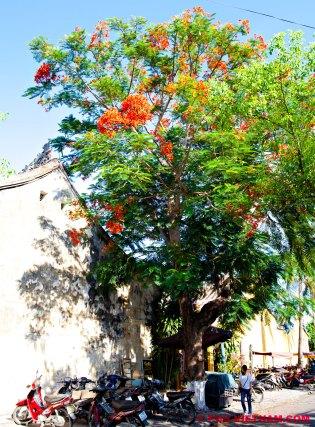 Mooie boom Cay Phuong Vi in Hoi An (foto: Pho Vietnam © Kim Le Cao)