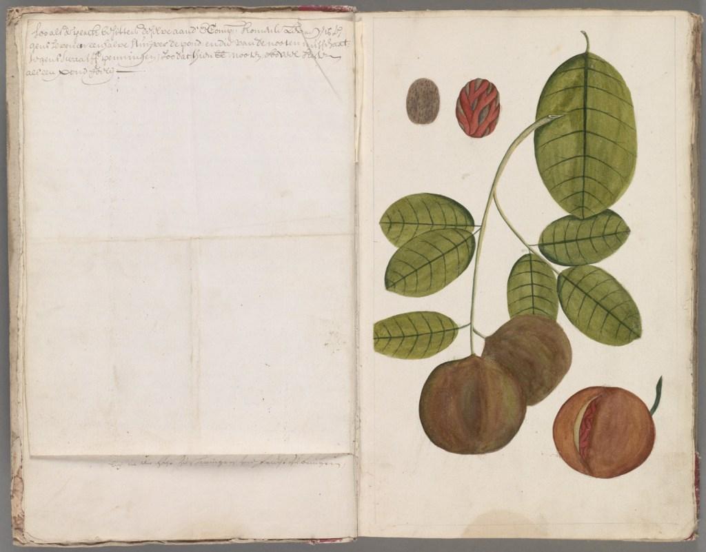 Nootmuskaat. Beschrijving van Oost Indische gewassen, begin 18e eeuw.