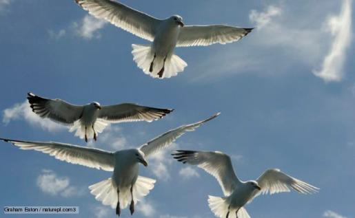 http://www.bbc.co.uk/nature/life/Herring_Gull