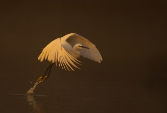 http://www.hsfnature.co.uk/pages/gallery/birds/wildfowl-and-waders/little-egret.php?gall_id=41