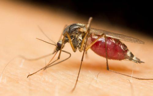 Bild Kriebelmücke