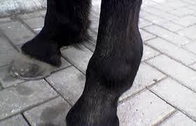 Prellung Pferd