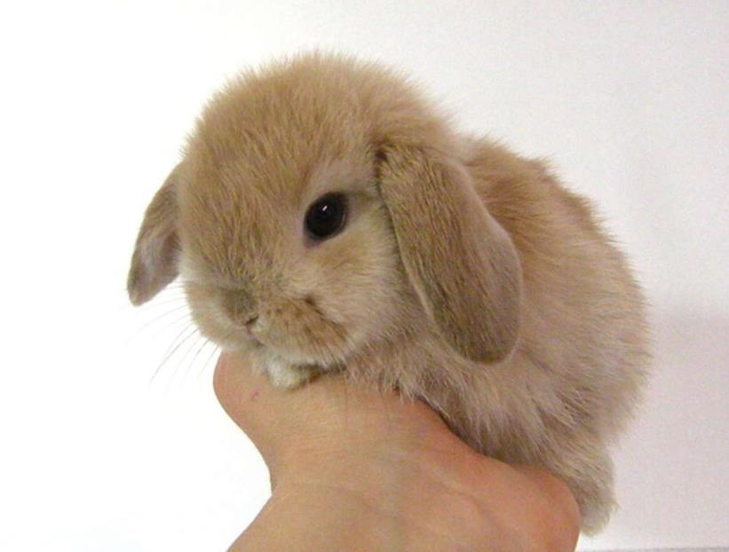 Kelinci Mini