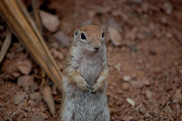 image of ground squirrel