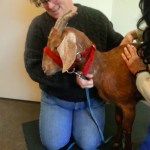 Phoenix Rising Veterinary Care, Goat