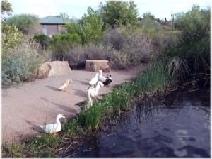 ducks-on-walking-path1