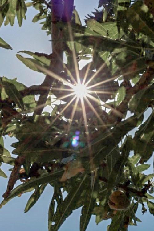 almond tree branches, sun peeking