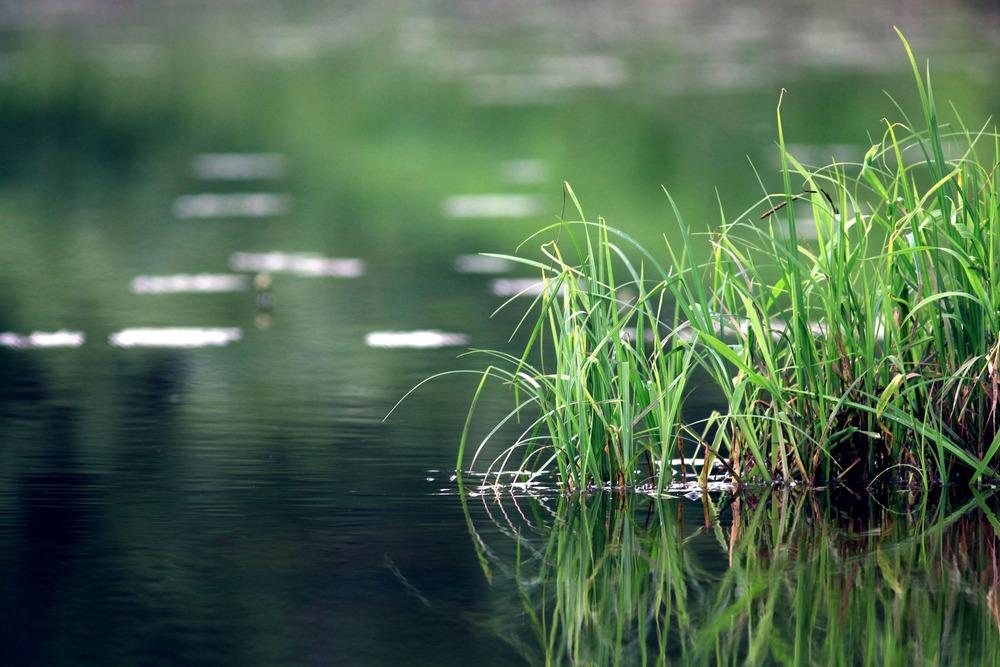 Grass on Pond Edge