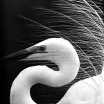 撮影年不明 田中徳太郎『白サギ』《よろこび 曲線:埼玉,浦和市(現さいたま市)