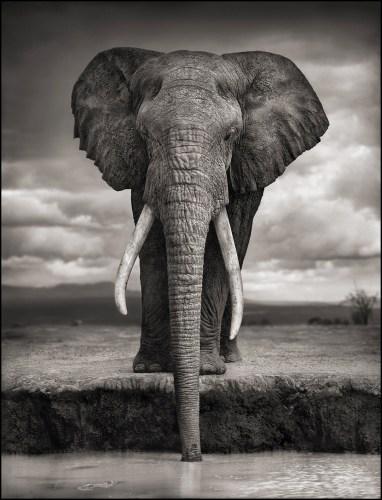 photos préférées nick brandt éléphant qui boit dans une rivière en noir et blanc